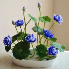 Egrow 5Pcs Lotus Seeds Blue Green Bowl Lotus Water Lily Seeds Rare Aquatic Flower Plant Seed Blue