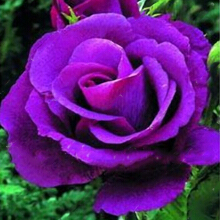 Egrow 100 Pcs Rare Rose Seeds Mixed Color Home Garden Potted Flower Seed Decoration Bonsai 3